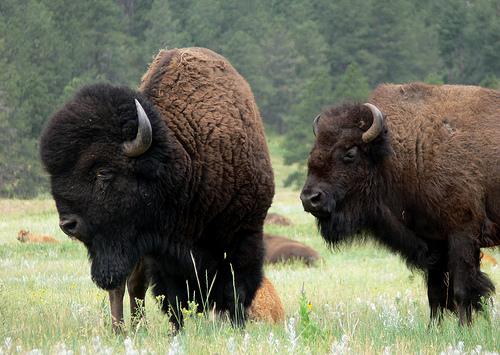 bison blueberries food network walmart butcher