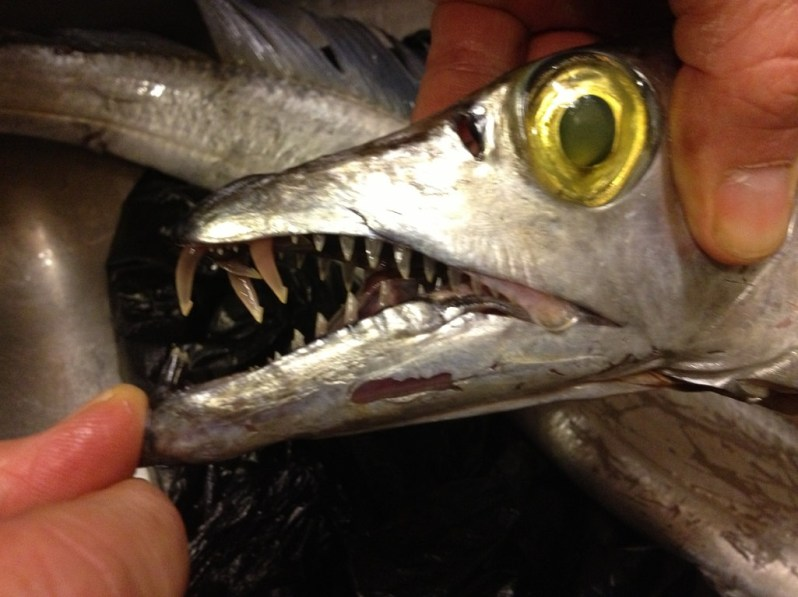 Ribbonfish |Grabbing the Gusto