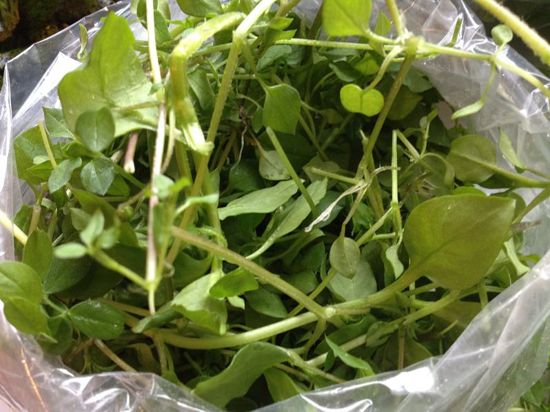 Chickweed from In Good Heart Farm | Grabbing the Gusto