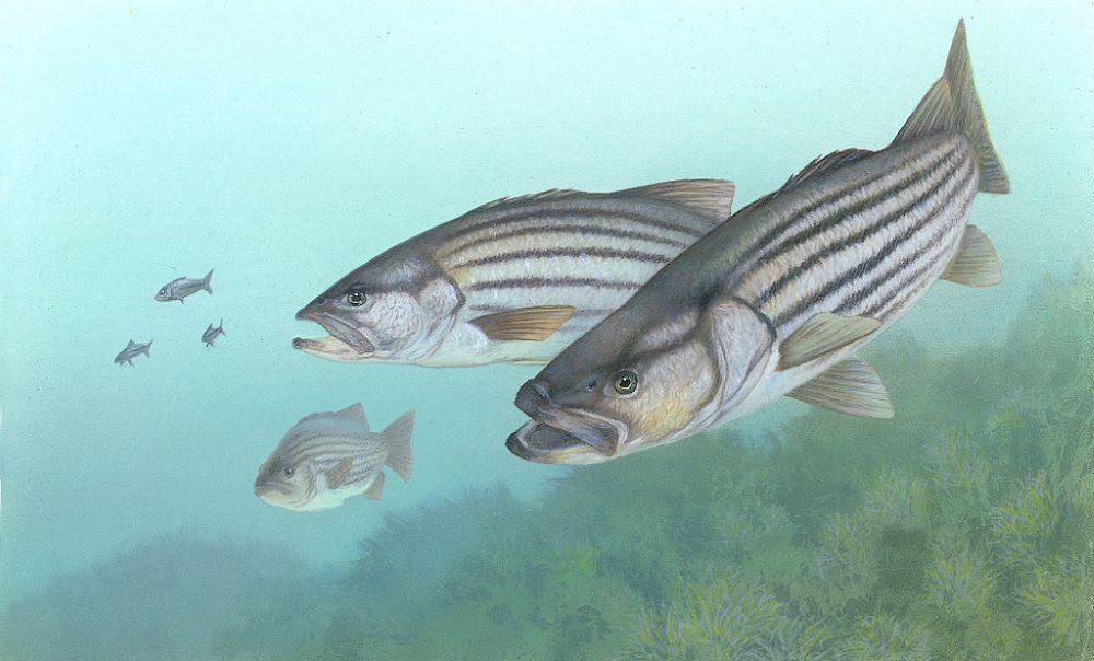 menu ideas for striped bass, mackerel and more