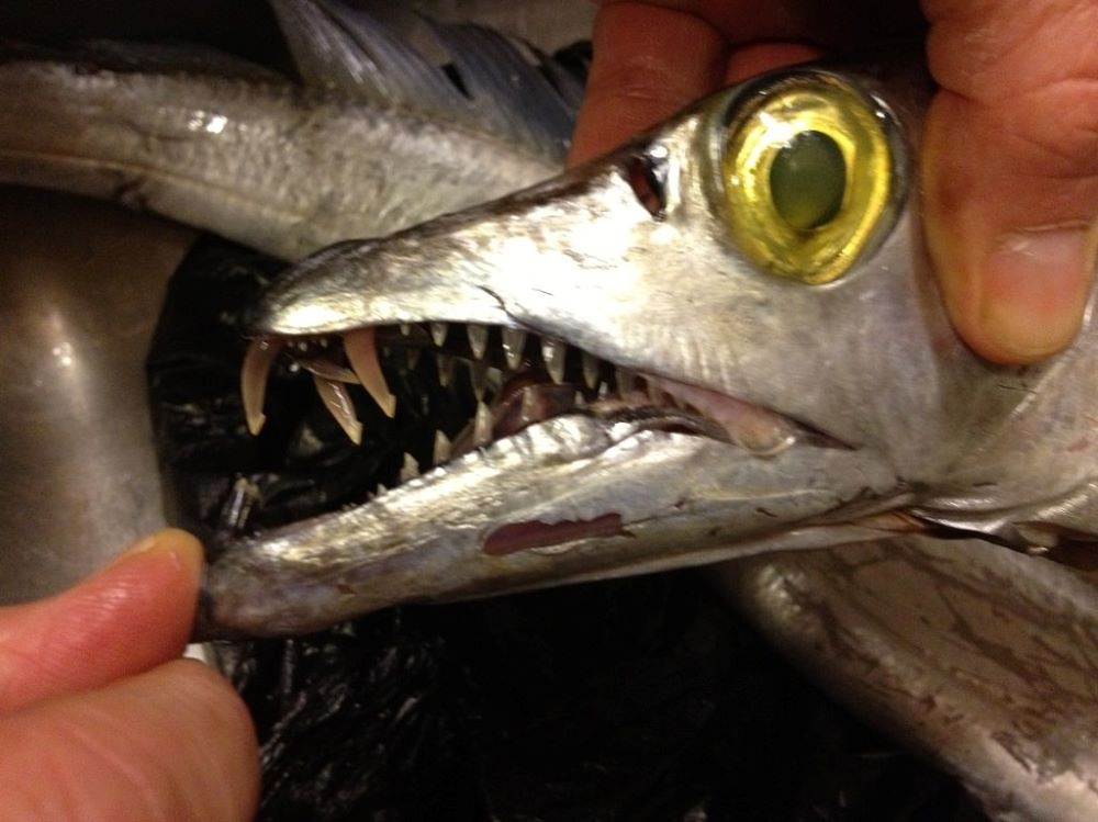 Ribbonfish head - Menu ideas and recipes for shad roe, chicken thighs, sourdough, kale, greens, red cabbage, ribbonfish, black sea bass, and sweet potatoes