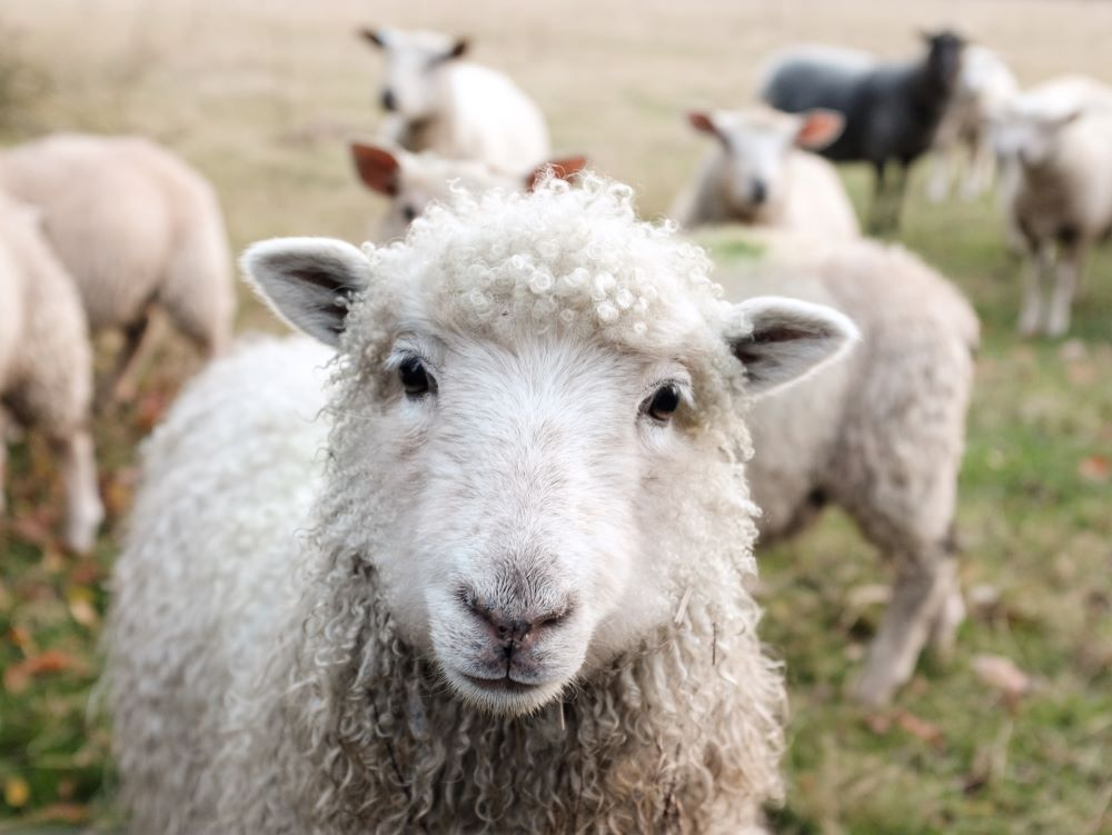 Curious lamb - inspiration for menu ideas and recipes for ground lamb, eggplant, kale, chard, striped bass, carrots, broccoli stems, almaco jack, arborio rice, green beans, and butternut squash